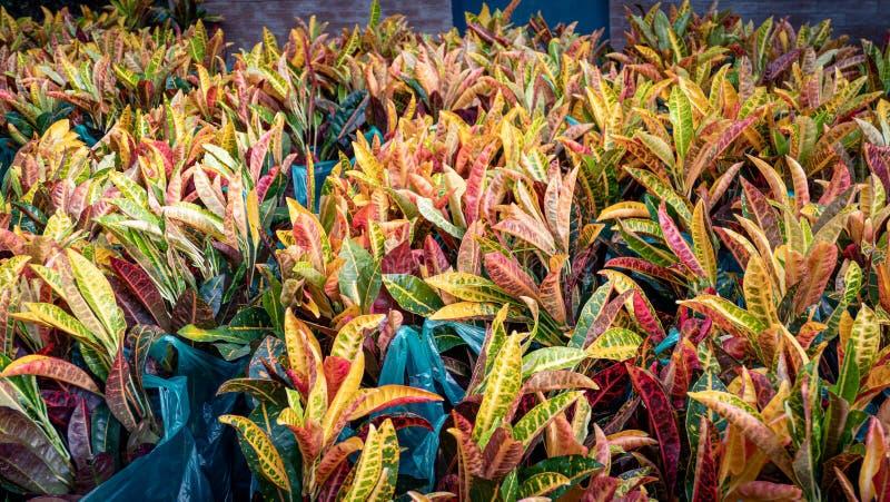 Codiaeumvariegatium L Blume eller nyanserat lager, trädgårdCrotonväxt arkivbilder