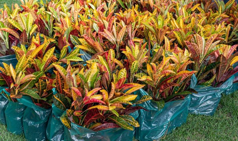 Codiaeumvariegatium L Blume eller nyanserat lager, trädgårdCrotonväxt fotografering för bildbyråer