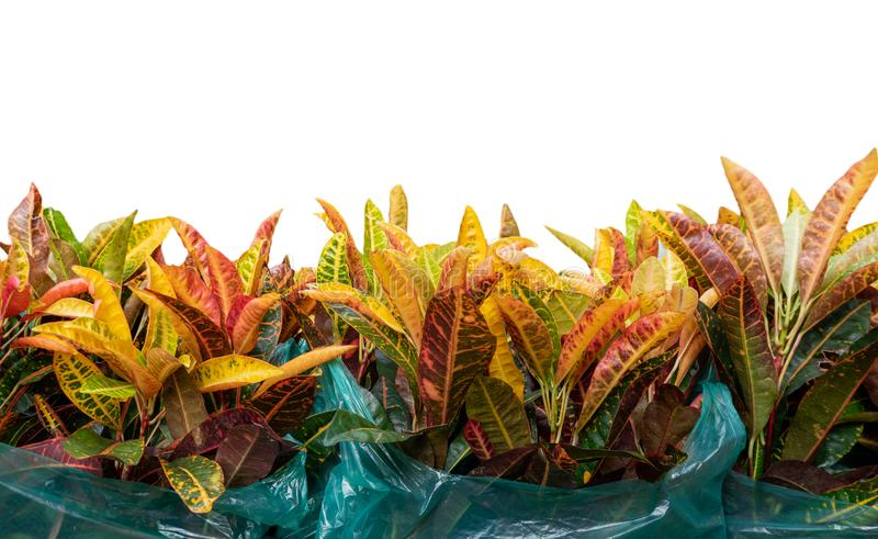 Codiaeumvariegatium L Blume eller nyanserat lager, trädgårdCrotonväxt i plastpåse royaltyfri bild
