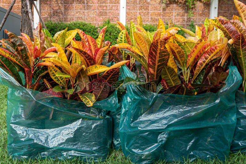 Codiaeumvariegatium L Blume eller nyanserat lager, trädgårdCrotonväxt i plastpåse fotografering för bildbyråer