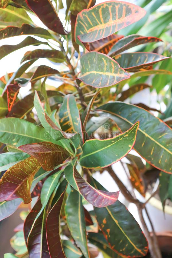 Codiaeumvariegatum Blume eller trädgårds- Croton arkivbilder