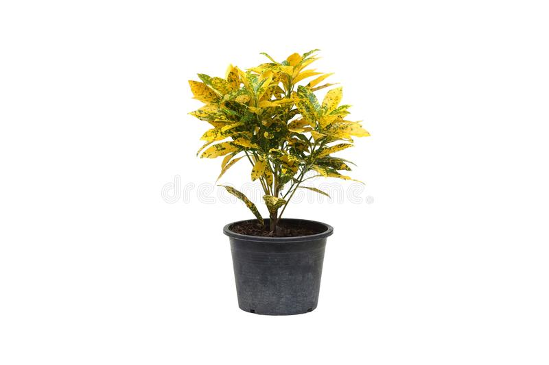 Codiaeumvariegatum Blume i en svart plast- kruka arkivbild