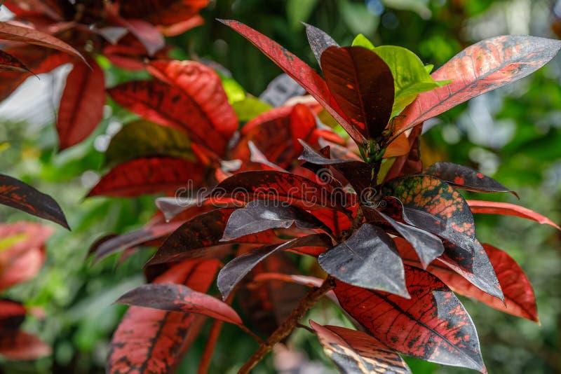 Codiaeumvariegatum Opmerkelijke kleurrijk, veelkleurig en vormen van bladerentexturen Sierplanten sluit omhoog, natuurlijk stock foto