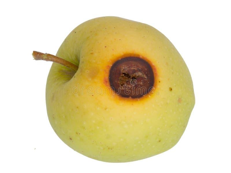 Codling moth pest damage on apple, isolated on white. Cydia pomonella grub, larva, caterpillar. royalty free stock photography