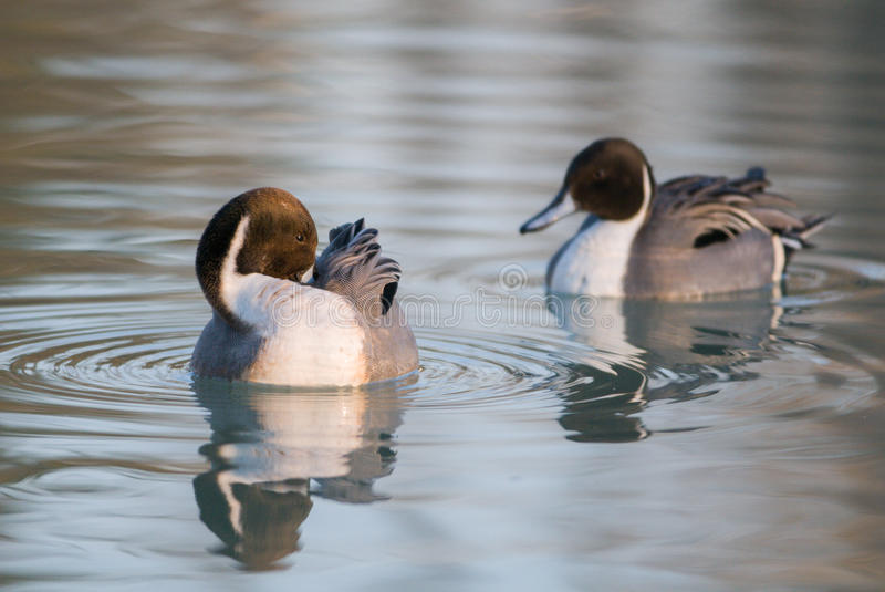 Codon pair of ducks in the delta of the Po. Codon pair of ducks in the delta of Po during the breeding season stock images