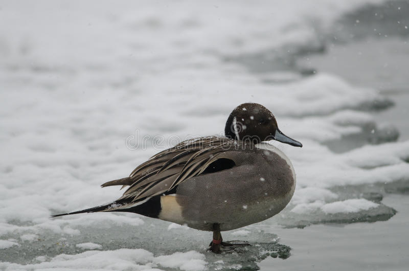 Codon in the Po delta under heavy snow. Codon in the Po delta is resting on shore during a snowfall stock photos