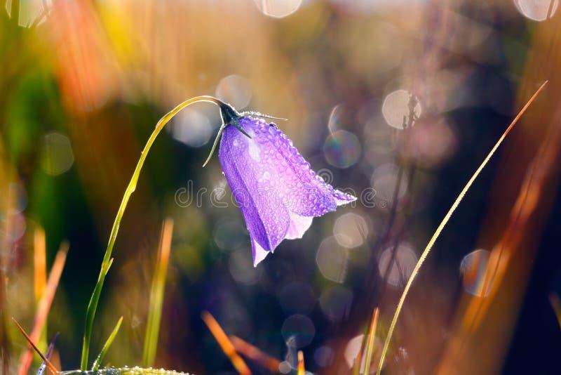 Codonopsis clematidea (Schrenk) Cklarke im Früjahr Wald stockbild