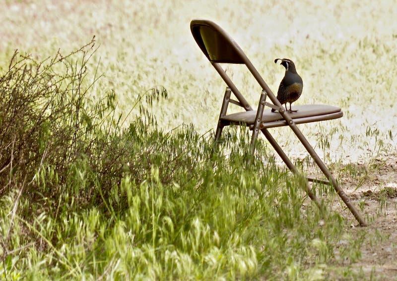 Codornices canadienses que descansan sobre silla imagen de archivo