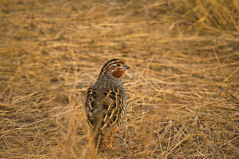 Codorniz de Bush da selva, Perdicula asiatica, Ranthambhore Tiger Reserve, Rajasthan, Índia imagens de stock