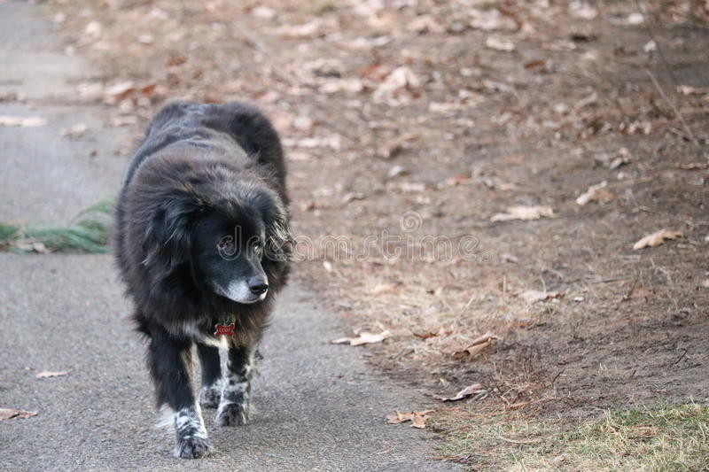 Cody on a stroll in the neighborhood. Border collie walking along stock images