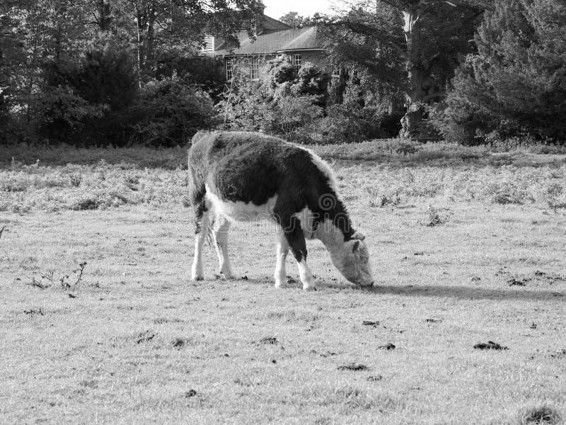Coe-Fenn-Wiesenvieh in Cambridge in Schwarzweiss stockbilder
