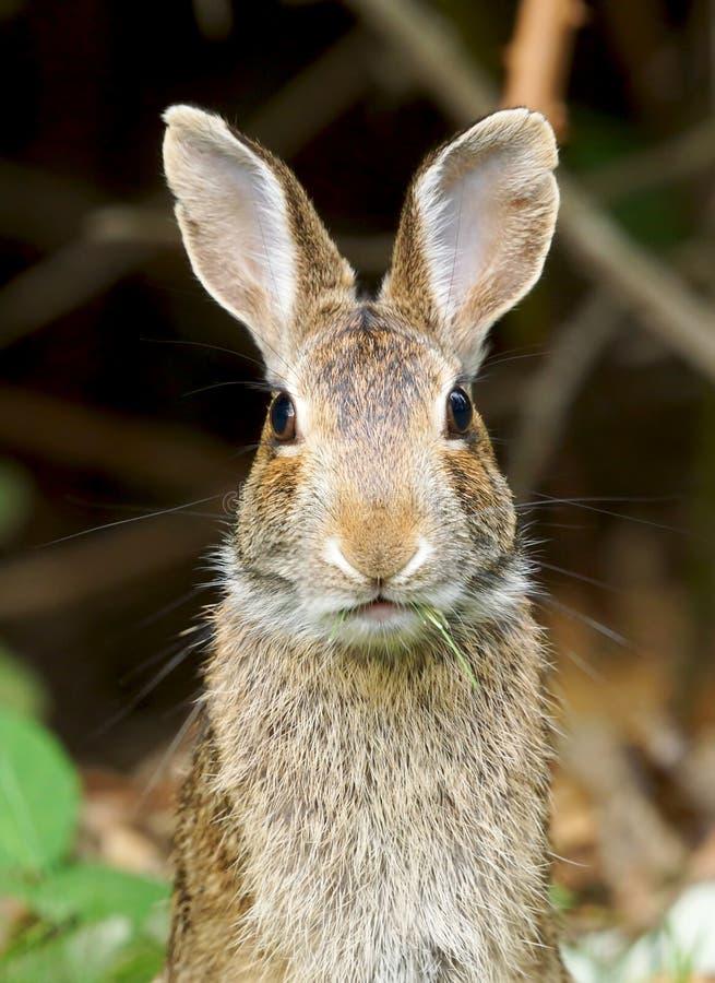Coelhinho da Páscoa selvagem do coelho fotografia de stock