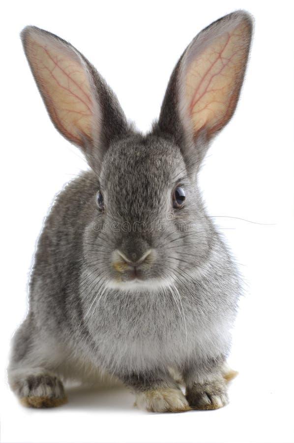 coelho imagens de stock