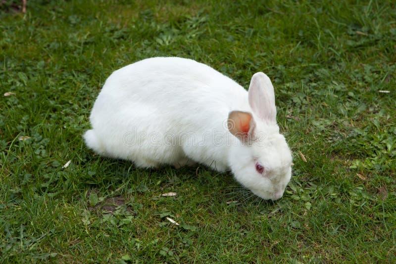Coelho branco Animal de laboratório do albino imagens de stock
