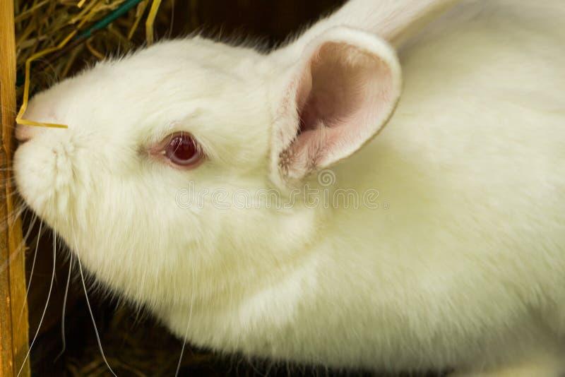 Coelho branco Animal de laboratório do albino do coelho doméstico imagens de stock royalty free
