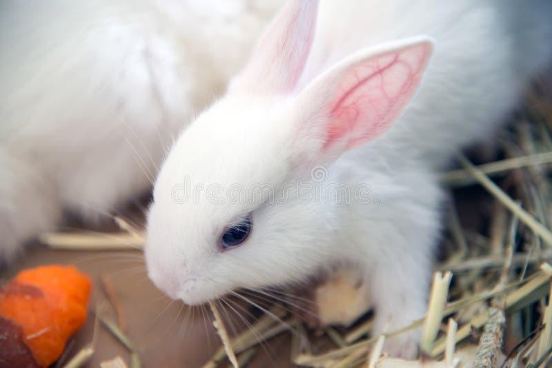 Coelho branco Animal de laboratório do albino do coelho doméstico fotos de stock royalty free
