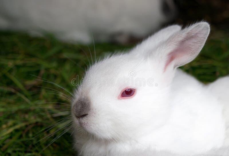 coelho branco com olhos vermelhos e um assento preto do nariz foto de stock