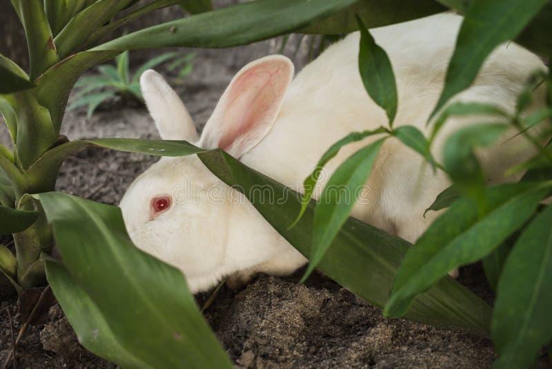 Coelho branco com olhos vermelhos foto de stock royalty free
