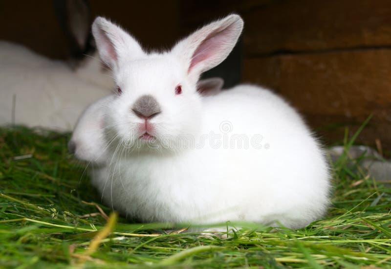 coelho branco curioso com olhos vermelhos foto de stock royalty free