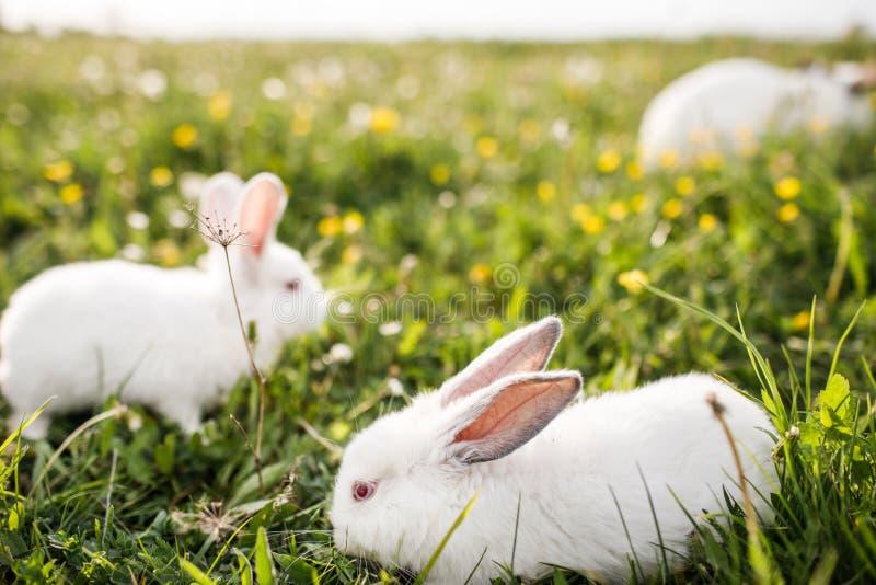 Coelho branco do bebê no fundo da grama verde da mola imagens de stock