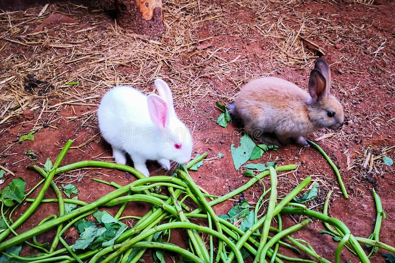 Coelho branco e coelho do marrom foto de stock royalty free
