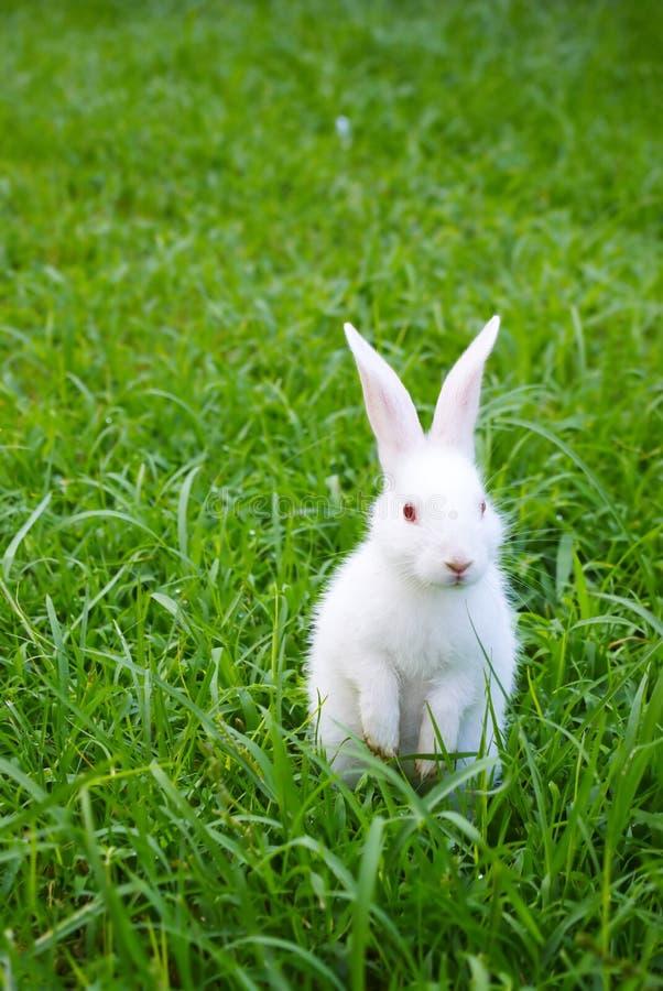 Coelho branco ereto na grama foto de stock