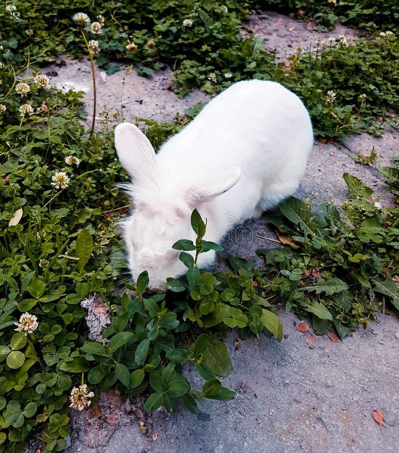 Coelho branco que come a grama no jardim da cidade foto de stock royalty free