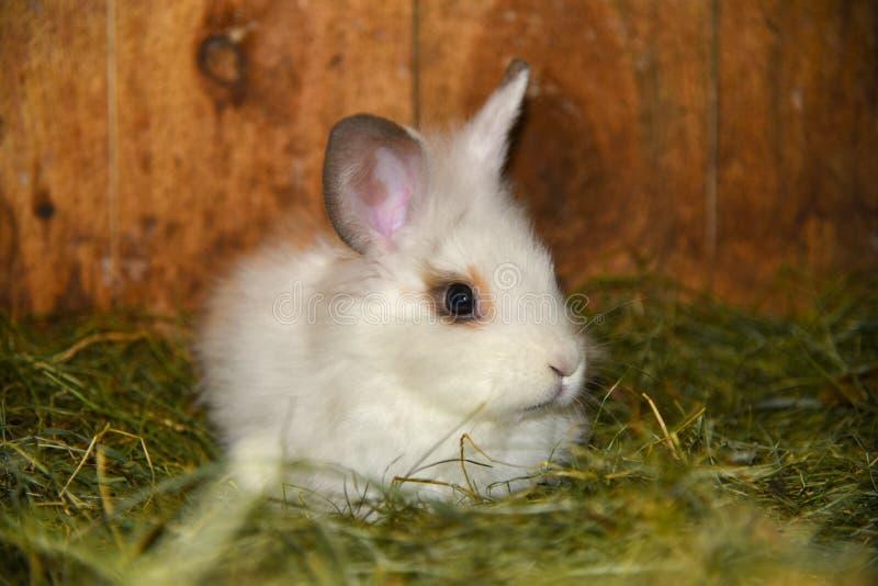 Coelho branco que senta-se na grama fotos de stock