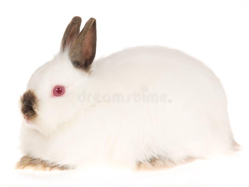 Coelho branco Rubi-Eyed Wooly de Jersey, na parte traseira do branco foto de stock