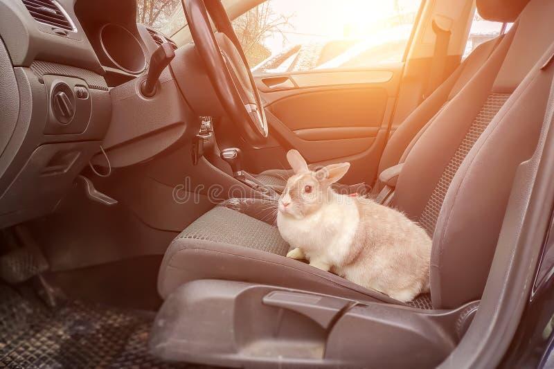 Coelho cinzento branco no carro Senta-se no assento do motorista s e olha-se para fora no estar aberto à rua imagem de stock