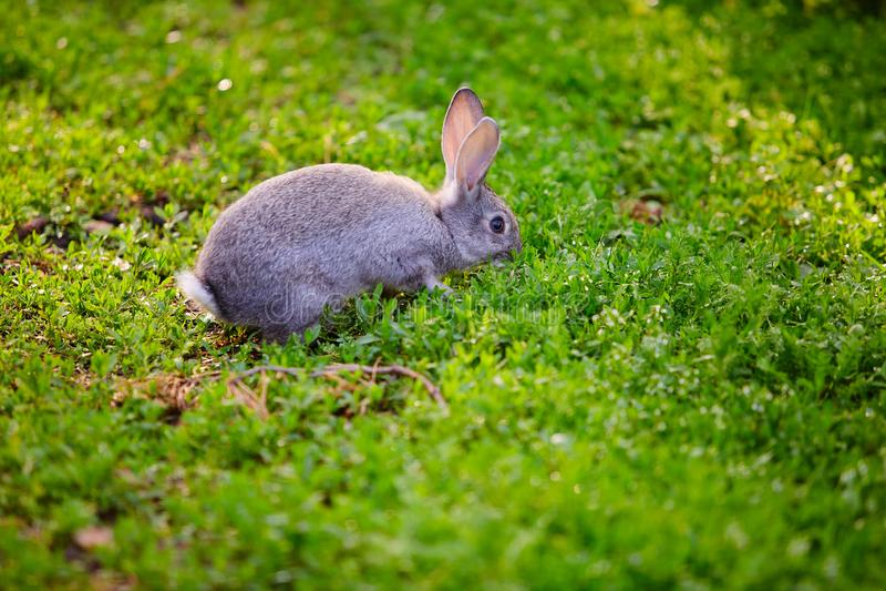 Coelho de coelho do coelho que come a grama imagens de stock