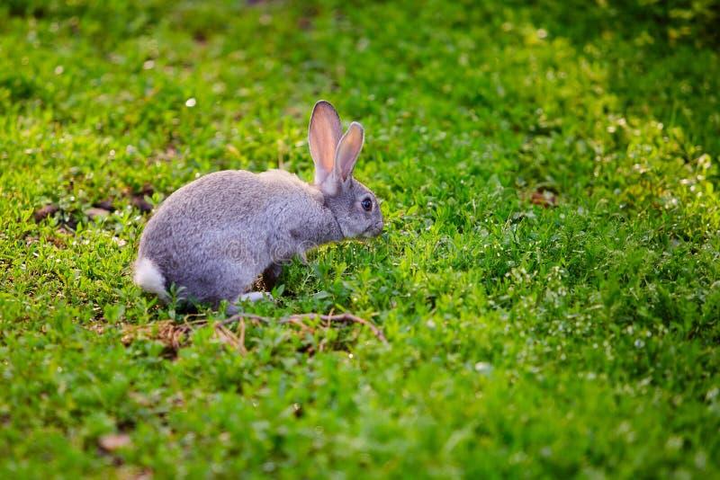 Coelho de coelho do coelho que come a grama imagem de stock royalty free