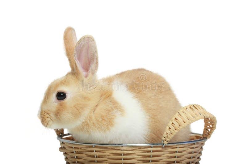 Download Coelho De Easter Em Uma Cesta Foto de Stock - Imagem de marrom, fundo: 12809870