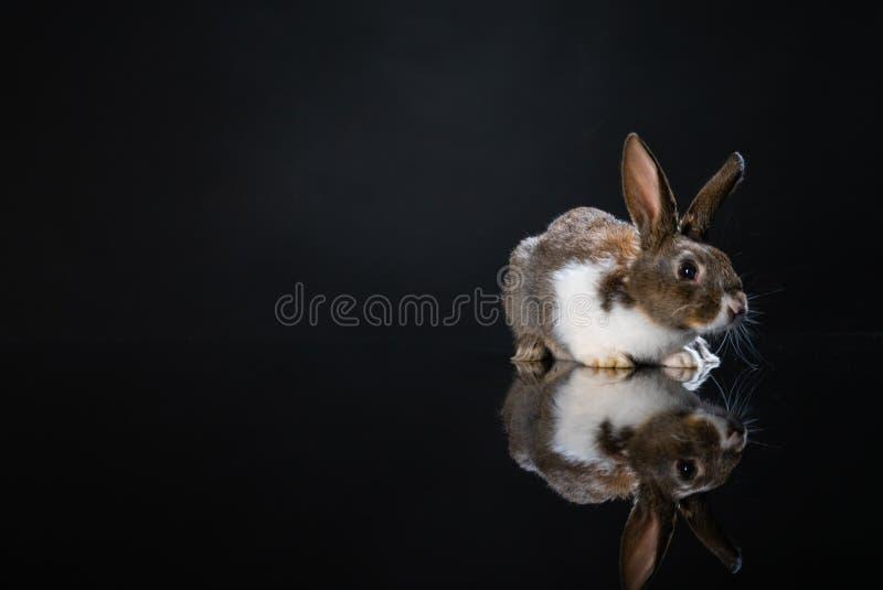 Coelho de coelho pequeno bonito no fundo preto escuro Coelho branco e cinzento pequeno isolado wallpaper S?mbolo da P?scoa Lovel  foto de stock royalty free