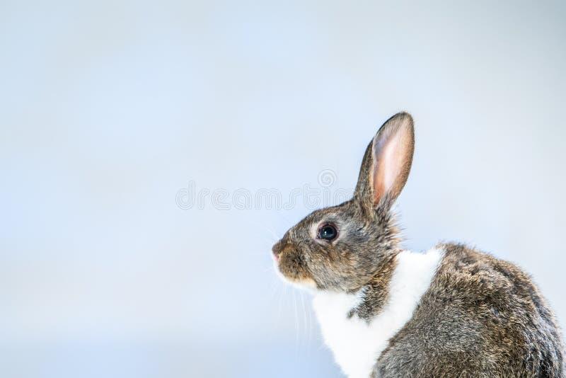 Coelho de coelho pequeno bonito no fundo preto escuro Coelho branco e cinzento pequeno isolado wallpaper S?mbolo da P?scoa Lovel  imagem de stock
