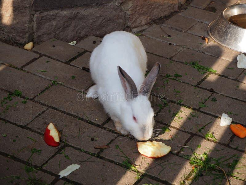 Coelho doméstico branco com olhos vermelhos que come a maçã fotos de stock