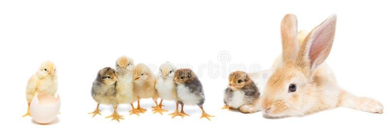Coelho e galinha imagem de stock