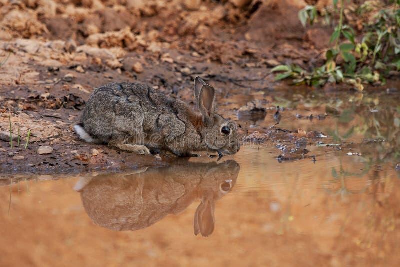 Coelho europeu ou coelho comum, Oryctolagus cuniculus, a beber numa lagoa Espanha imagem de stock royalty free