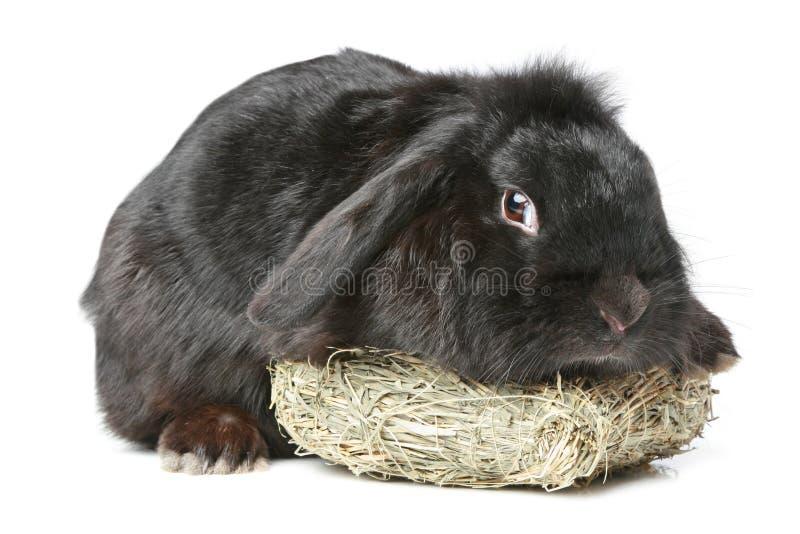 Coelho lop-eared preto imagem de stock