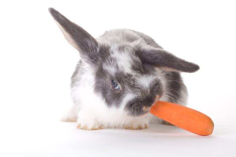 Coelho manchado que come uma cenoura, isolada fotografia de stock
