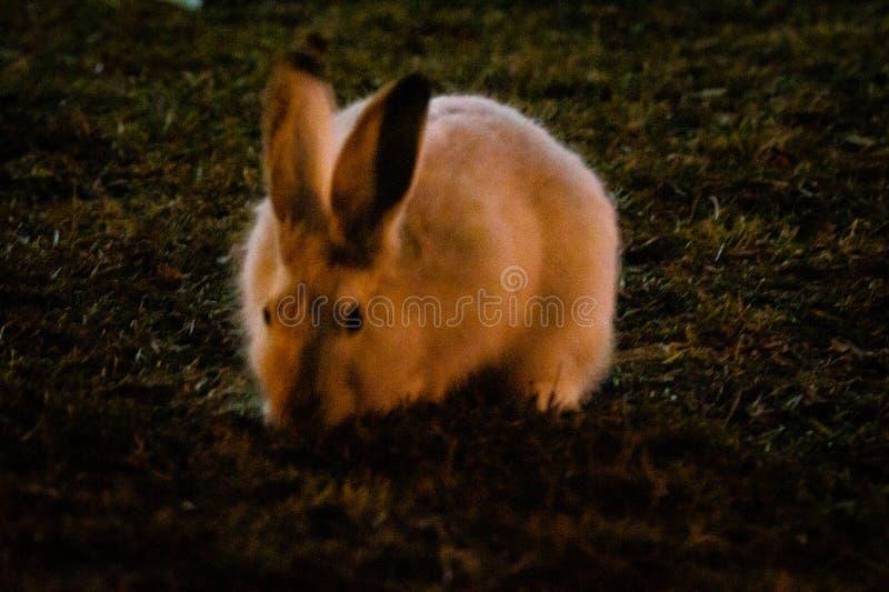 Coelho no campo de grama aberto na noite fotografia de stock royalty free