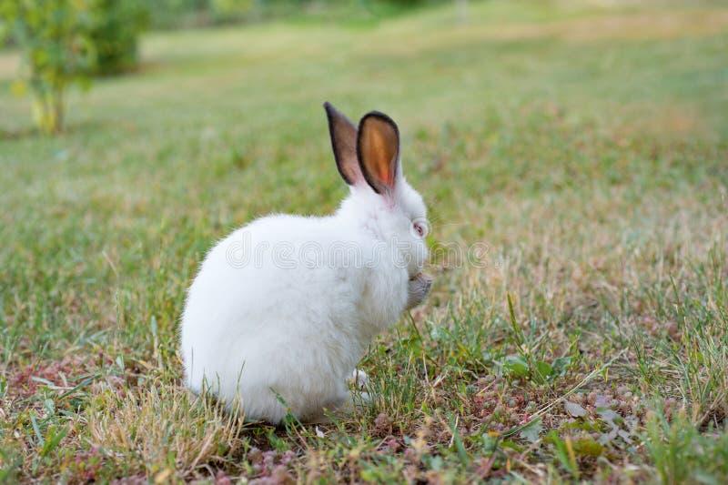 Coelho pequeno branco com orelhas cinzentas que come a grama no jardim imagens de stock royalty free