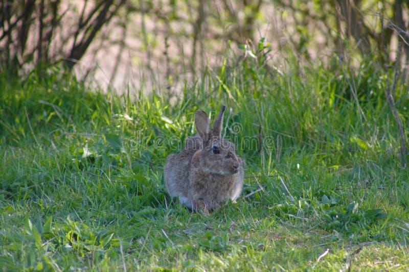 Coelho selvagem em Inglaterra sul Coelho que senta-se na grama imagens de stock