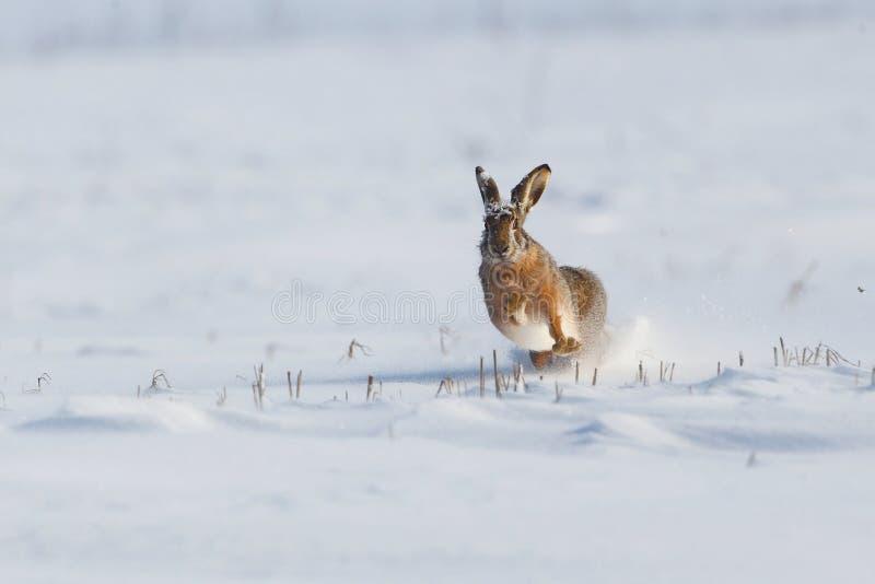 Coelho selvagem que corre na neve foto de stock royalty free