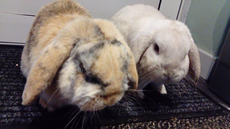 2 coelhos imagens de stock