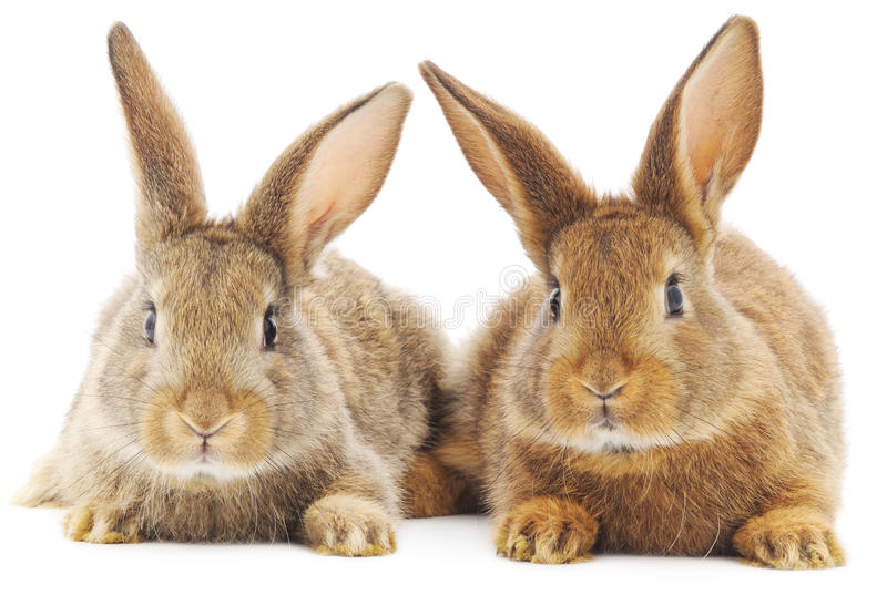 coelhos imagem de stock