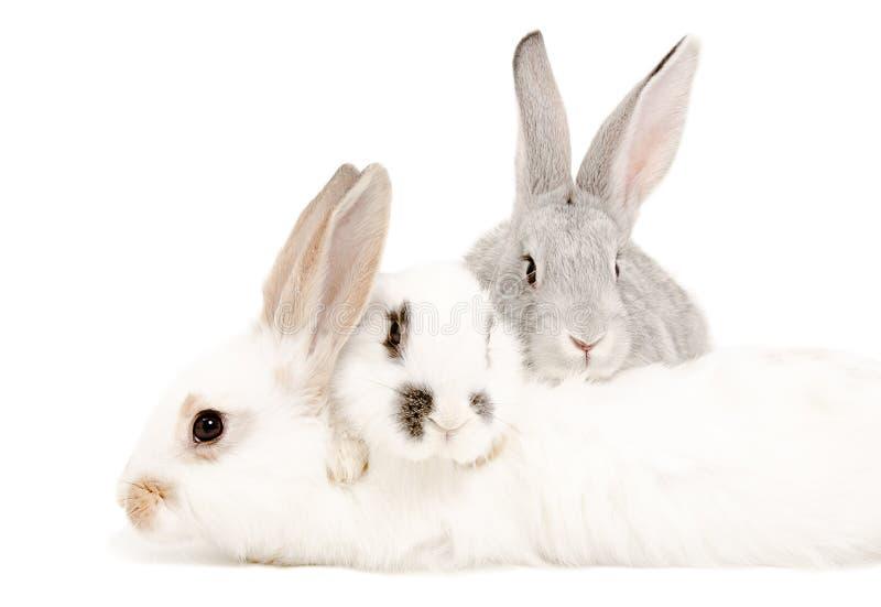 coelhos foto de stock