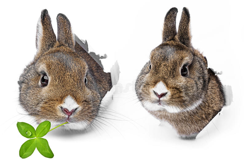 coelhos imagem de stock royalty free