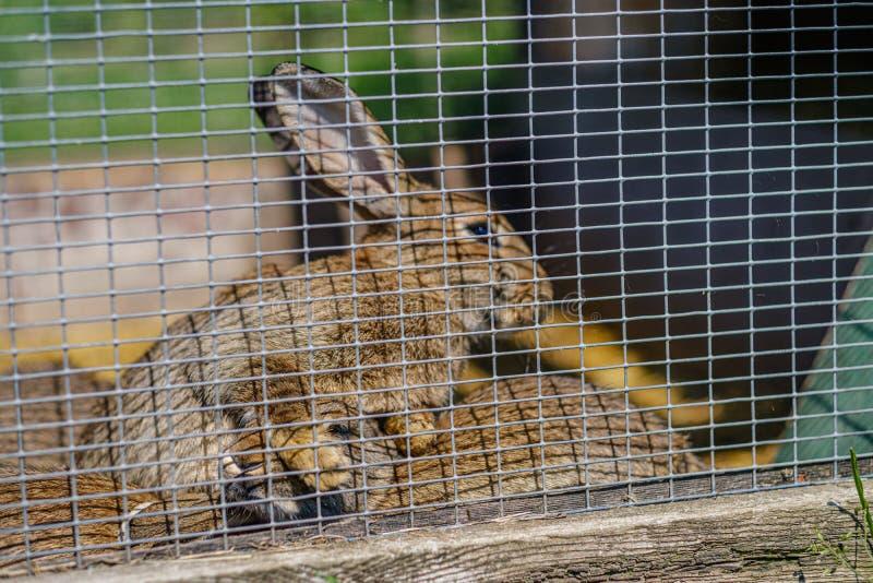 coelhos domésticos nas gaiolas atrás das barras imagem de stock