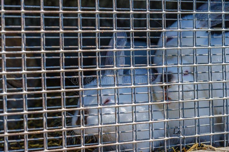 coelhos domésticos nas gaiolas atrás das barras fotografia de stock royalty free